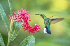 Ogoniasty sabrewing unosić się obok menchii kwitnie, ptak w locie, caribean tropikalny las, Trinidad i Tobago, fotografia stock