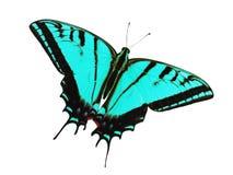 Ogoniasty swallowtail motyl odizolowywający na bielu Kolor zmiana cyan Obrazy Royalty Free