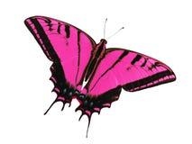 Ogoniasty swallowtail motyl odizolowywający na bielu Kolor zmiana magenta Obrazy Stock