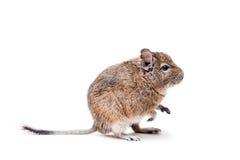 Ogoniasty szczur na bielu lub Degu, zdjęcie stock