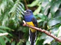 Ogoniasty trogon ptak Zdjęcie Royalty Free