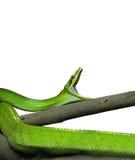 ogoniasty Zielony Ratsnake ziewanie na Białym tle, ścinek zdjęcie royalty free