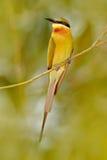 Ogoniasty zjadacza Merops philippinus tyczenie na gałązki, zieleni i błękita tle blisko Yala parka narodowego, Sri Lanka beaut zdjęcia royalty free