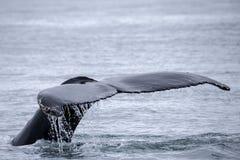 Ogonu żebro możny humpback wieloryb obraz stock