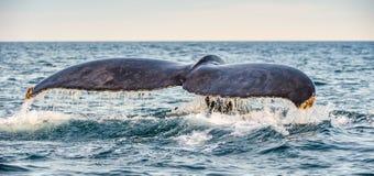 Ogonu żebro możny humpback wieloryb nad powierzchnia ocean Naukowy imi?: Megaptera novaeangliae ?rodowisko naturalne zdjęcia stock