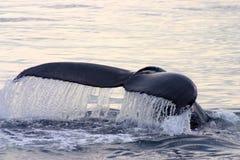 Ogonu żebro szary wieloryb w Atlantyk obraz stock