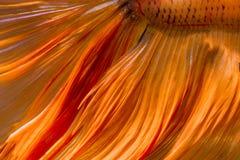 Ogonu betta ryba tekstura Zdjęcie Stock