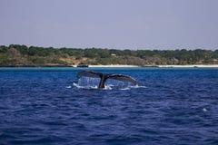 Ogonu żebro humpback wieloryb przy Mozambik Zdjęcia Royalty Free