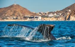 Ogonu ?ebro mo?ny humpback wieloryb nad powierzchnia ocean Naukowy imi?: Megaptera novaeangliae ?rodowisko naturalne zdjęcie royalty free