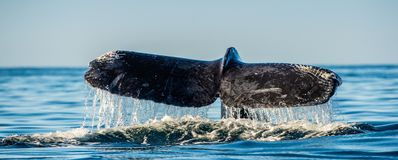 Ogonu ?ebro mo?ny humpback wieloryb nad powierzchnia ocean Naukowy imi?: Megaptera novaeangliae ?rodowisko naturalne fotografia royalty free