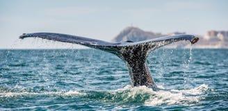 Ogonu ?ebro mo?ny humpback wieloryb nad powierzchnia ocean Naukowy imi?: Megaptera novaeangliae ?rodowisko naturalne zdjęcia stock