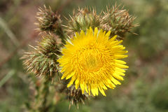 Ogräs-blomma royaltyfri bild
