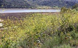 Ogräs för svart senap i sydliga Kalifornien fotografering för bildbyråer