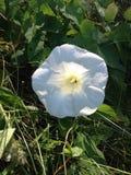 Ogräs för vit blomma Royaltyfri Fotografi
