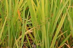 ogräs i risfältfält Arkivfoton