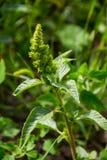 Ogräs och medicinalväxt arkivfoton