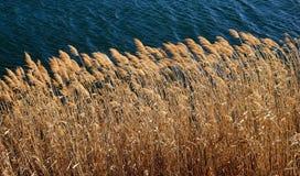 Ogräs på sjön Arkivfoton