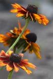 Ogródów kwiaty Obrazy Stock