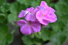 Ogródów kwiaty 3 Zdjęcie Stock