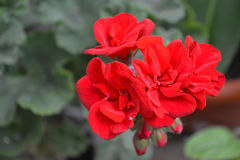 Ogródów kwiaty 4 Fotografia Stock