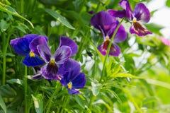 Ogródów kwiaty fiołki kwitnęli przeciw tłu zielony ulistnienie Zdjęcia Stock