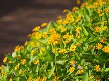 Ogród żółty kwiat Zdjęcia Stock
