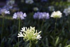 Ogród Afrykańska leluja pod wiosny słońcem Obraz Stock