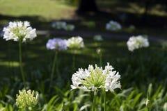 Ogród Afrykańska leluja pod wiosny słońcem Obrazy Stock