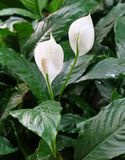 Ogród Anthurium kwiaty lub flamingów kwiaty Fotografia Royalty Free