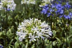 Ogród białe i błękitne Afrykańskie leluje Obrazy Stock