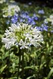 Ogród białe i błękitne Afrykańskie leluje Obrazy Royalty Free