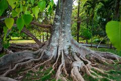Ogród Botaniczny Pamplemousses, Mauritius obrazy royalty free