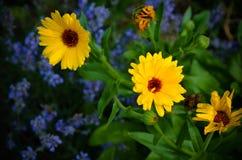 Ogród calendulas kwitnie przy latem Obrazy Stock