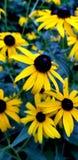 Ogród kwiaty Zdjęcie Stock