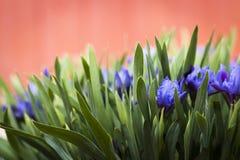Ogród kwitnie irysy zdjęcie royalty free