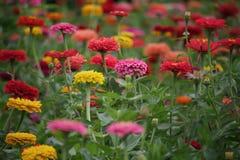 Ogród Mums Obraz Royalty Free