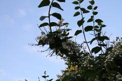Ogród Ogrodowa wieś Wiosny kwiecenie Jaśmin Obrazy Royalty Free