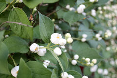 Ogród Ogrodowa wieś Wiosny kwiecenie Jaśmin Zdjęcie Stock