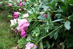 Ogród Ogrodowa wieś Wiosny kwiecenie peonie Obraz Royalty Free