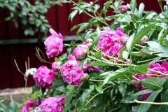 Ogród Ogrodowa wieś Wiosny kwiecenie peonie Zdjęcia Royalty Free