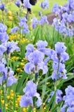 Światło - purpurowy Brodatego irysa ogród Obraz Royalty Free