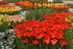 Ogród pełno kolorowi kwiaty, tulipany i hiacynty. Obraz Royalty Free