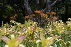 Ogród pomarańczowe leluje Obraz Royalty Free