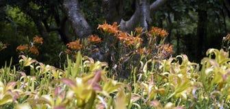 Ogród pomarańczowe leluje Fotografia Stock