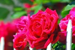Ogród różany Zdjęcia Royalty Free