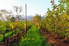 Ogród różany Obraz Royalty Free