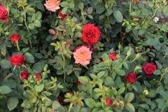 Ogród Różany! Obraz Royalty Free