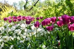 Ogród różowi i biali tulipany zdjęcie royalty free