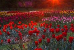 Ogród tulipany w łunie wschód słońca Obraz Royalty Free