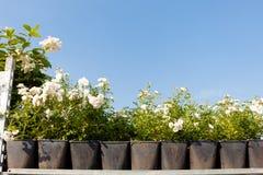 Ogród wzrastał kwiaty w garnkach, asortyment Pi?kno kwitn?cy bukiet obraz royalty free